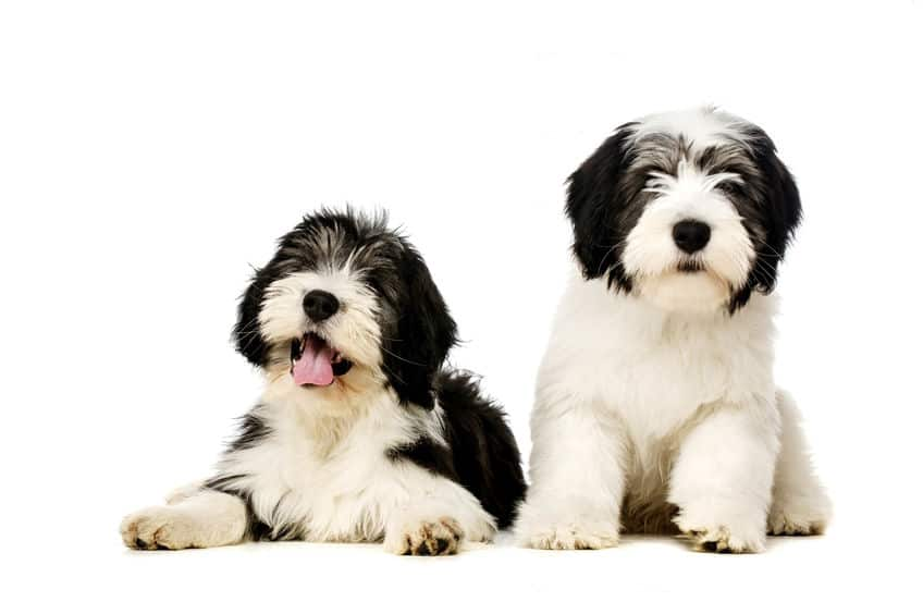 teo Polish Lowland Sheepdogs