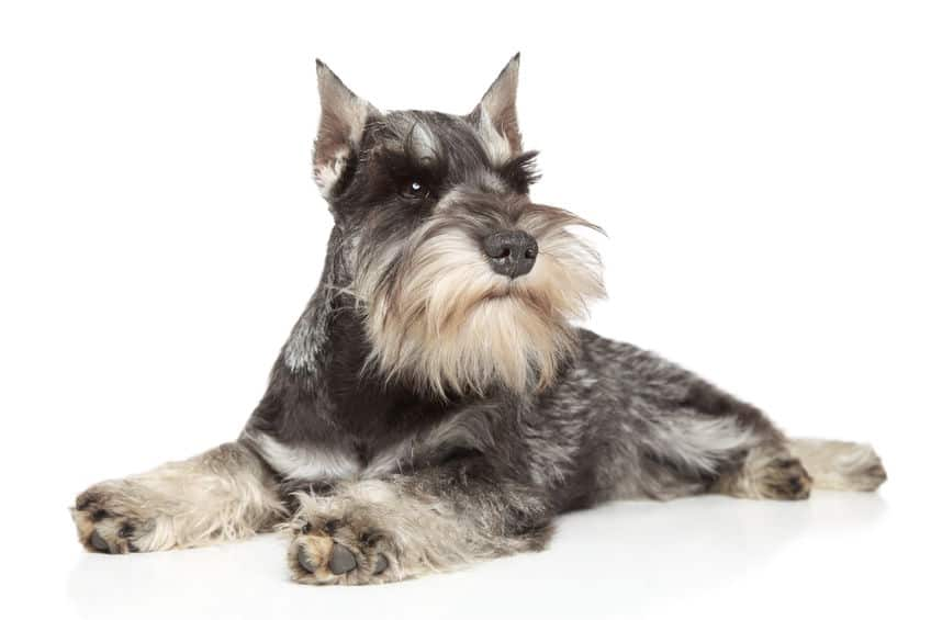 The Ultimate Guide To Hypoallergenic Dogs