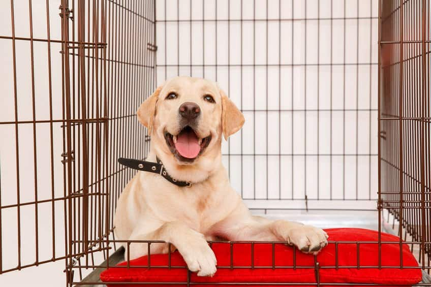 labrador inside his 42 inch dog crate
